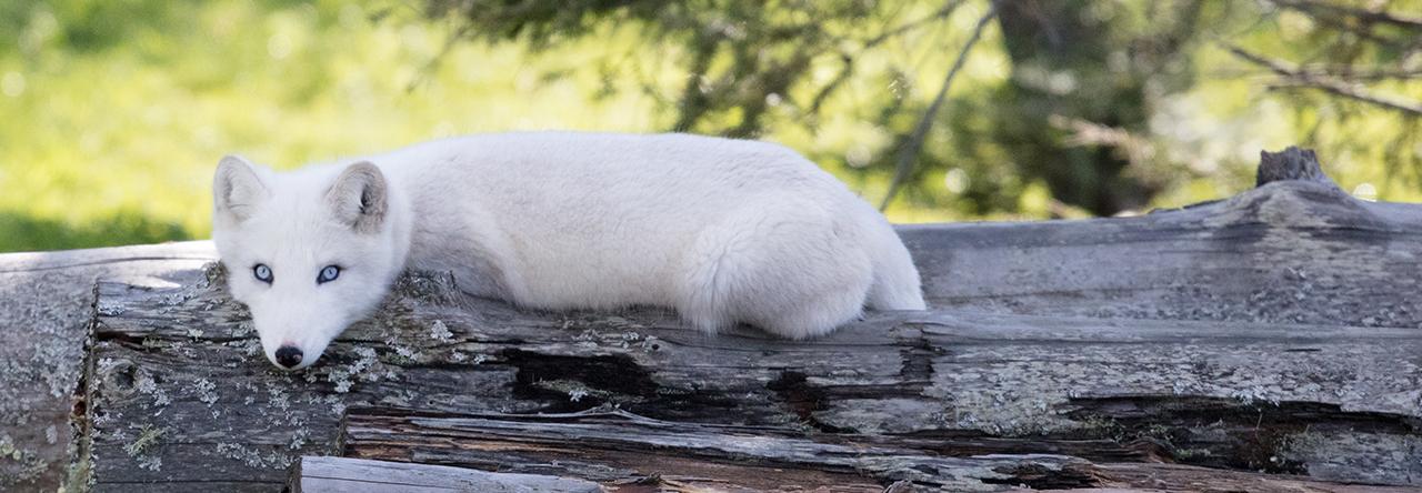renard blanc sur tronc